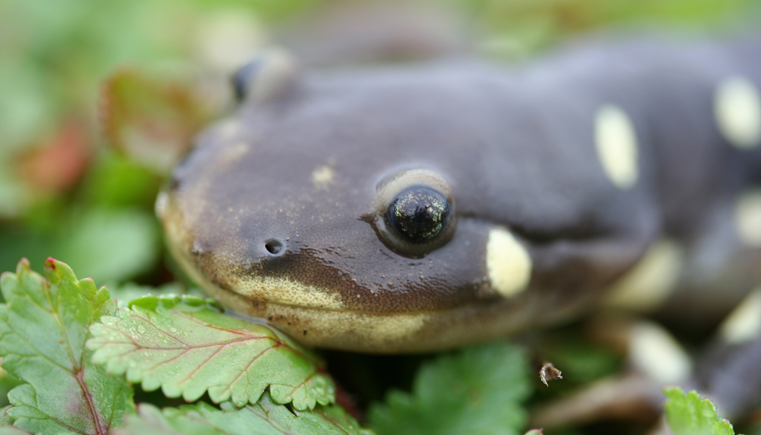 California Tiger Salamander by Adam Clause