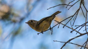 Hutton's vireo by Scott McCusker